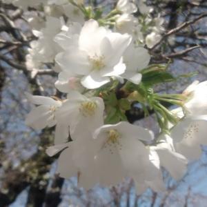 トルコのアンズの花、パン、ワクチン