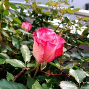 綺麗な覆輪の薔薇