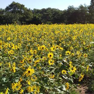 世羅高原農場のひまわりまつりに行ってきました(#^^#)