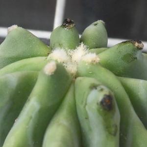 棘無王冠竜に黒カビ~!フェロカクタス属の蜜についたカビを簡単にきれいにする方法
