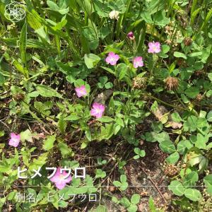 「花の名前がわかるアプリ」で散歩中に見かけた花の名前を調べてみたら