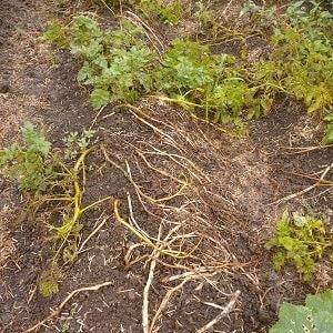 小雨混じりの中ジャガイモを掘る