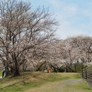 今日の伊勢の桜