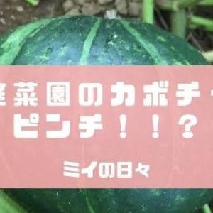 収穫間近でカボチャの天敵「うどん粉病」に!!