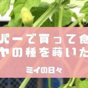 スーパーで買って食べたゴーヤの種を蒔いた結果