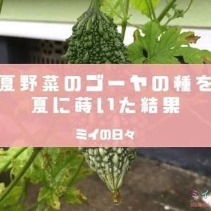 夏野菜のゴーヤの種を夏に蒔いた結果
