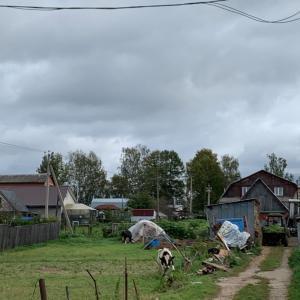 ぶらり旅ロシア国内!牛を発見!
