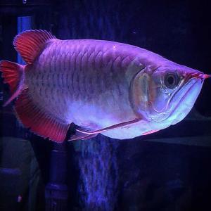 YouTube アルティマレッドと7匹の稚魚の成長記録
