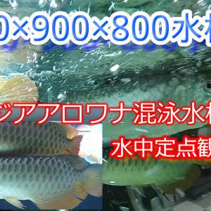 YouTube アジアアロワナ混泳水槽 水中定点観測
