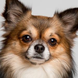 和製バフェットの犬