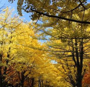 北海道大学 イチョウ並木の紅葉