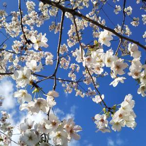 桜の木にサクランボ