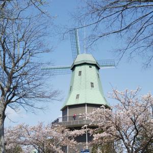 チューリップと共に、桜も(^^♪
