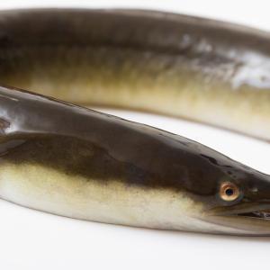【朗報】本日丑の日、タイムセールで鰻を安く食べようぜwwwwww