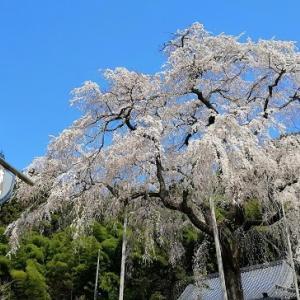 山桜と高嶺展望台ツーリング