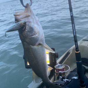 湾奥最奥 サワラは跳ねてなくても釣れるのか?