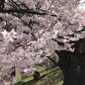 成功するか?桜、4月の挿し木[20200427]