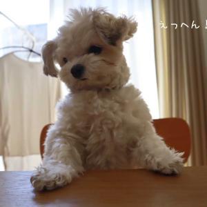 *最近のあさり*犬1歳1ヵ月*