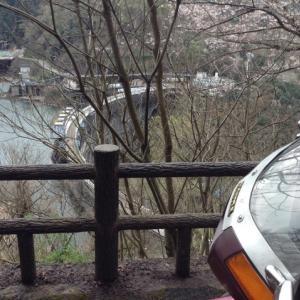 天ヶ瀬ダム展望台は桜が蕾を膨らせ始めてる