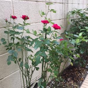 薔薇の挿し木、育て~!