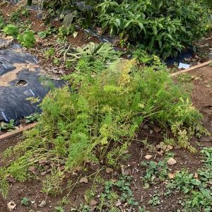 家庭菜園 ニンジンを全部収穫しました