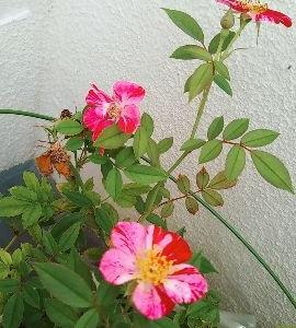 おはよう☆ミニバラがまた咲いたよ!