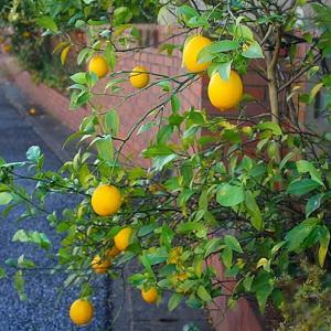 レモンの実*初冬の庭