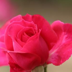 温室の薔薇*1カゴ20個で1000円の