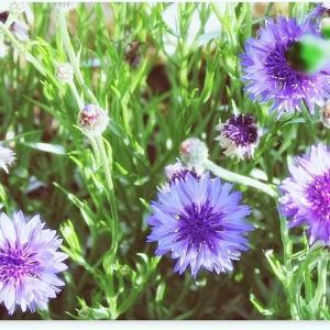 賑わってる菜園☆畑の花も*:・.*