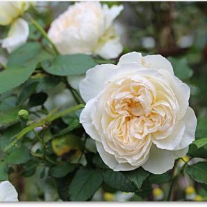 3番目の白い薔薇と☆出待ちのrinn