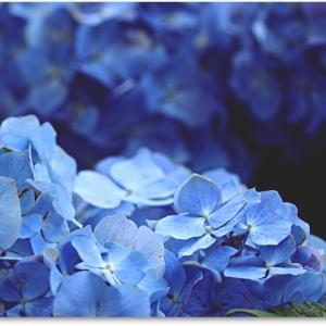 紫陽花とサフィニア☆ステキな薔薇のジャム