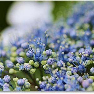 紫陽花の径☆暴れお嬢さんエリゲロン
