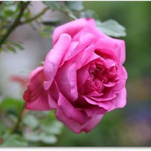 ピンクの薔薇☆momoの今の様子