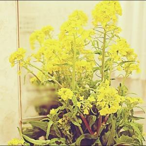 菜の花と☆初めてスマホ