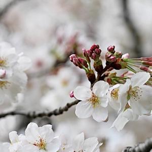 公園の桜と☆わんこさんファミリーと