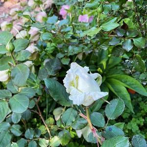 薔薇とクリスマスローズが一緒に咲いて☆まねっこプチスイーツ