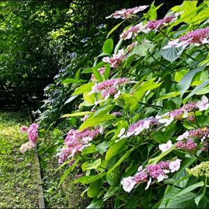 水辺の公園の紫陽花☆rinnの日常と