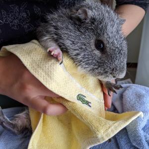 【モルモットのぽん】汚れが目立ってきたのでお風呂に入れました