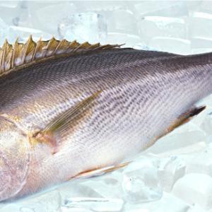イサキが大漁