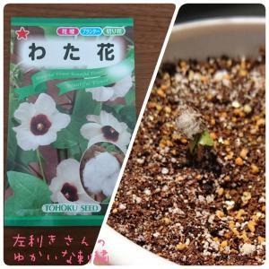 わた花の栽培