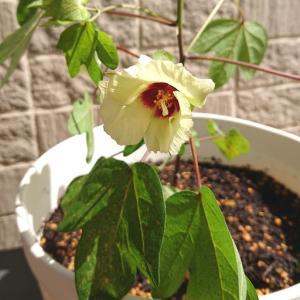 わた花の栽培_4