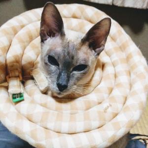 ポリープ 切除 うどん生活 ステーキ ドーナツ 炒飯 焼きそば エリザベスカラー シャム猫