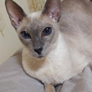 日御碕神社 参拝 祈願 ご祈祷 毎年恒例 シャム猫 検査結果