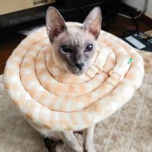 ねぎだく 牛丼 吉野家 動物病院 注射 シャム猫 オリエンタルショートヘア