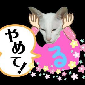 おもしろ やめて 外泊 からかう オリエンタルショートヘア シャム猫