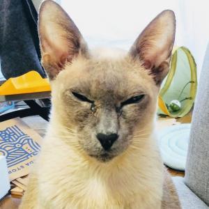 残念 キティ ゴディバ 見つかる 目くそ シャム猫 オリエンタルショートヘア