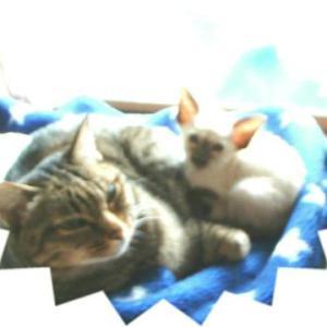 猫の日 歴代 猫 トラ猫 シャム猫 オリエンタルショートヘア