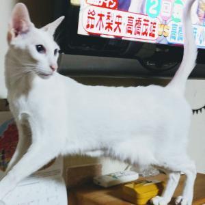 お菓子 袋 ポーチ 作成 イチゴ大福 キットカット オリエンタルショートヘア シャム猫