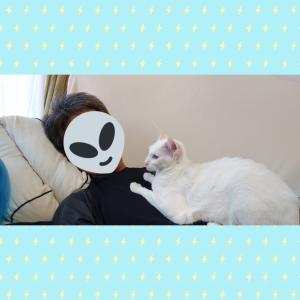 置いてみた 起きた オモシロ ハンドタオル オリエンタルショートヘア シャム猫