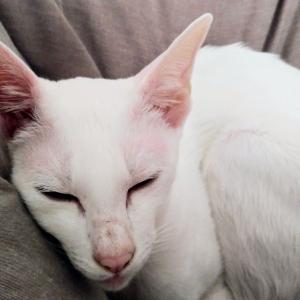 きんぴらごぼう 七味 恐るべし 豆板醤 コチュジャン オリエンタルショートヘア シャム猫